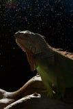 Primo piano di un'iguana verde maschio (iguana dell'iguana) Fotografia Stock Libera da Diritti