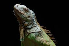 Primo piano di un'iguana verde maschio (iguana dell'iguana) Fotografia Stock