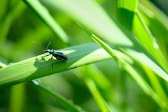 Primo piano di un insetto maschio colorato blu-verde del ` s nominato Fotografia Stock Libera da Diritti