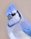 Primo piano di un Jay blu Fotografie Stock