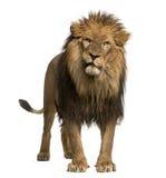 Primo piano di un leone che rugge, panthera Leo, 10 anni, isolati Immagini Stock