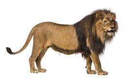 Primo piano di un leone che rugge, panthera Leo, 10 anni, isolati Fotografie Stock Libere da Diritti