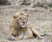 Primo piano di un leone che si trova nell'erba Fotografie Stock