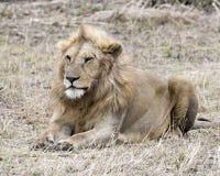 Primo piano di un leone che si trova nell'erba Fotografia Stock