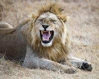 Primo piano di un leone che si trova sulla terra nel cratere di Ngorongoro Fotografie Stock