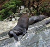 Primo piano di un leone marino a Milford Sound Fotografie Stock Libere da Diritti