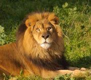 Primo piano di un leone maschio Immagine Stock