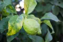Primo piano di un limone con una crescita verde del limone Valle di Soller, Maiorca Fotografia Stock