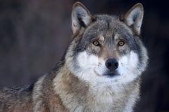 Primo piano di un lupo grigio (lupus di Canis) Fotografie Stock