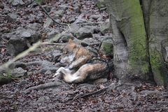 Primo piano di un lupo selvaggio di sonno in una foresta in Germania fotografia stock