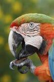 Primo piano di un Macaw di alba del Maui Fotografie Stock Libere da Diritti