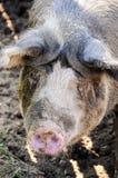 Primo piano di un maiale Immagine Stock Libera da Diritti