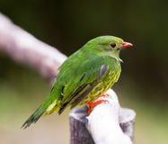 Primo piano di un mangiatore Verde-e-nero della frutta Fotografie Stock Libere da Diritti