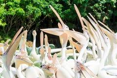 Primo piano di un mazzo di grandi uccelli del pellicano bianco con le bocche aperte Fotografia Stock Libera da Diritti
