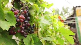 Primo piano di un mazzo succoso di di uva colorata multi su un ramo con le foglie verdi, raccolto dell'uva su un fondo vago video d archivio