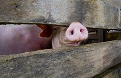Primo piano di un muso del maiale Immagine Stock
