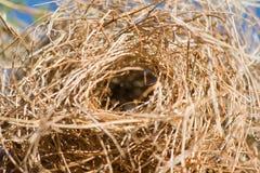 Primo piano di un nido dell'uccello Fotografia Stock Libera da Diritti