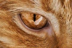 Primo piano di un occhio rosso del ` s del gatto dei peli, un occhio predatore del ` s Immagine Stock Libera da Diritti