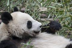 Primo piano di un panda (panda gigante) Fotografie Stock Libere da Diritti