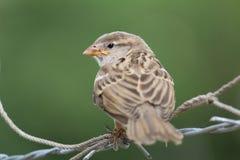 Primo piano di un passero che si siede su un recinto fotografia stock libera da diritti