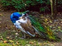 Primo piano di un pavone iridescente che si pavoneggia le suoi piume, bello colore e variazione del pigmento, animale domestico p immagini stock