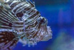 Primo piano di un pesce del leone (Pterois) Fotografia Stock