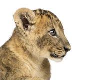 Primo piano di un profilo del cucciolo di leone, vecchio 7 settimane, isolato immagine stock