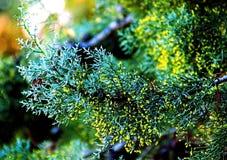 Primo piano di un ramo di albero del cipresso con i germogli verde chiaro fotografia stock libera da diritti