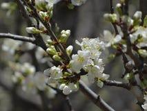 Primo piano di un ramo della prugna con molti fiori e germogli di bianco Immagini Stock Libere da Diritti