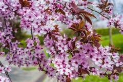 Primo piano di un ramo di fioritura del ciliegio selvaggio immagine stock libera da diritti