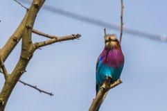 Primo piano di un rullo breasted lilla, animale domestico variopinto popolare in avicoltura, specie tropicale dell'uccello dall'A fotografia stock