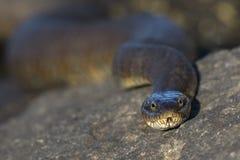 Primo piano di un serpente di acqua nordico che passa rapidamente la sua lingua - Ontario, immagini stock libere da diritti