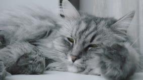 Primo piano di un sonno grigio del gatto video d archivio