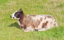 Primo piano di un sonno pecore marroni e bianche Fotografia Stock Libera da Diritti