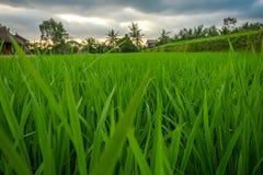Primo piano di un terrazzo del riso Fotografie Stock