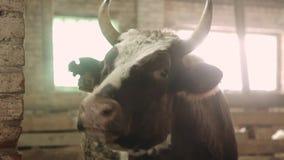 Primo piano di un toro in un granaio archivi video