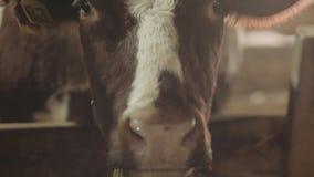 Primo piano di un toro in un granaio stock footage