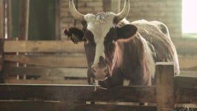 Primo piano di un toro in un granaio video d archivio