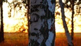 Primo piano di un tronco di albero in una foresta di autunno contro un fondo di tramonto Raggi di Sun che passano attraverso il t video d archivio
