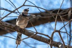 Primo piano di un uccello bianco-chested con alimento in suo becco, sedentesi su un ramo fotografie stock