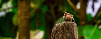 Primo piano di un uccello breasted arancio del waxbill che si siede su un palo di legno, specie tropicale dell'uccello dall'Afric immagini stock