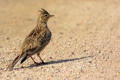 Primo piano di un uccello dell'allodola in un periodo di incastramento della molla Fotografie Stock