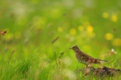 Primo piano di un uccello dell'allodola in un periodo di incastramento della molla Fotografia Stock Libera da Diritti