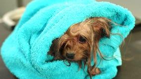 Primo piano di un Yorkshire terrier bagnato avvolto in asciugamano su una tavola ad una clinica del veterinario archivi video