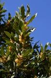 Primo piano di una baia Laurel Branch in fioritura, Laurus Nobilis, natura fotografie stock libere da diritti