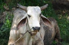 Primo piano di una Buffalo bianca massiccia che mastica qualcosa Immagine Stock Libera da Diritti