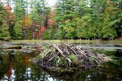 Primo piano di una casetta del castoro in autunno in anticipo Fotografia Stock
