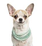 Primo piano di una chihuahua sorridente (2 anni) che indossa una collana Immagine Stock