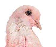 Primo piano di una colomba rosa Fotografia Stock Libera da Diritti