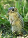 Primo piano di una di una condizione foderata di tredici dello scoiattolo a terra Immagini Stock Libere da Diritti